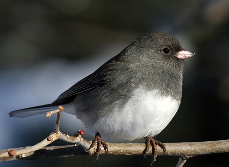 As Birds Of Summer Return Juncos Flee To Colder Latitudes
