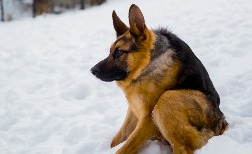 Hunchbacked German Shepherd