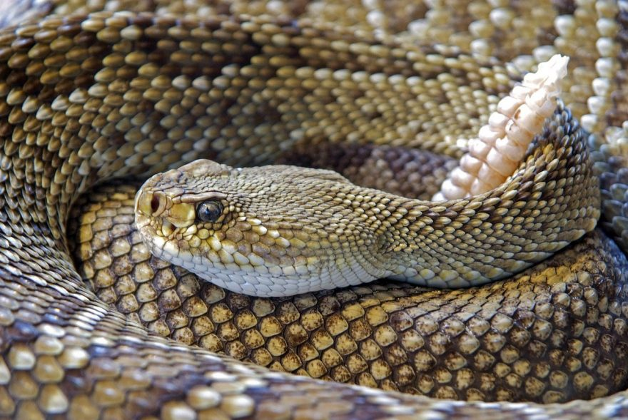 Can You Eat a Snake as Survival Food? Yes, and Here's How | ActionHub