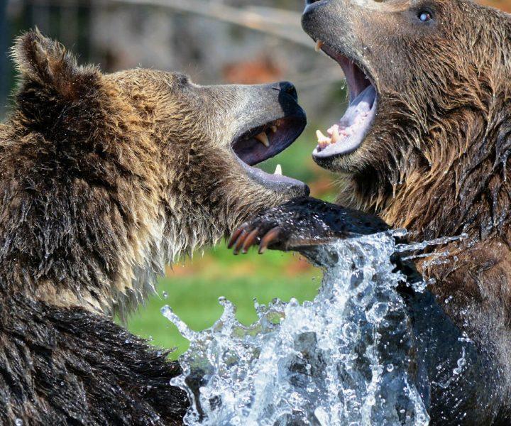 Surviving bear attacks | ActionHub