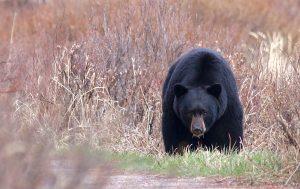 Black-Bear-Jasper-National-Park-Candad-Suzanne-Downing
