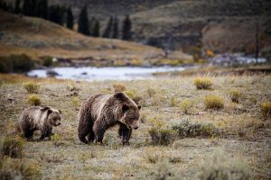yellowstone-park-grizzly-bears