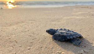 Sea-Turtle-Inc-san-padre-island